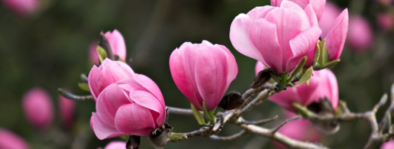Top Tips For Growing Magnolias Palmers Garden Centre