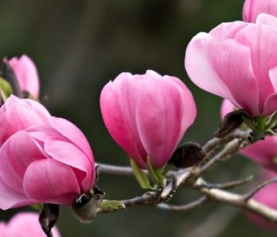 Top Tips for Growing Magnolias