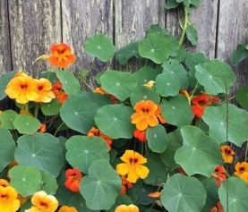A Guide to Growing Nasturtium