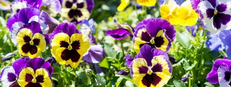 Annual Flowers For Winter Palmers Garden Centre