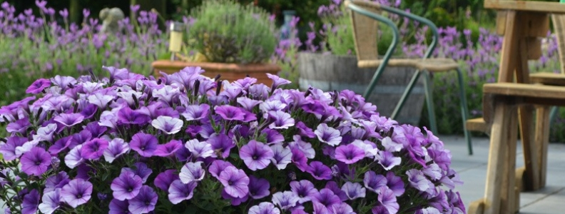 You can't go past Petunias!