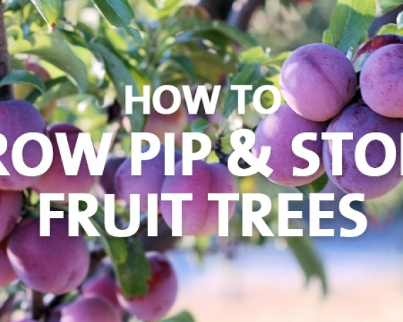 How to Grow Pip and Stone Fruit