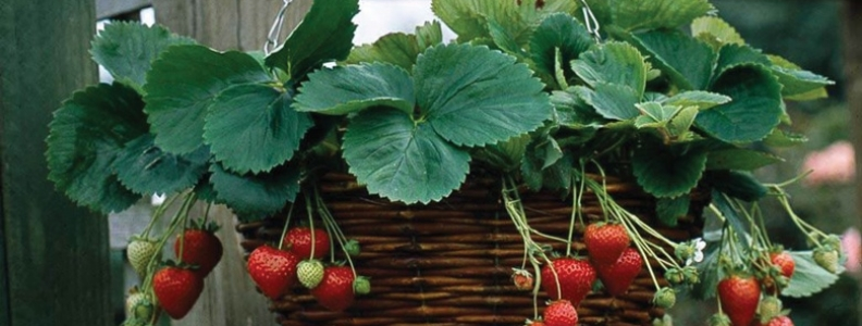 Short on space? Plant your strawberries here