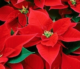 Keep your Poinsettias Looking Great all Season Long