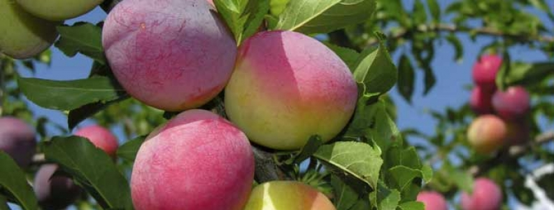 Pruning and Protecting Your Fruit Trees