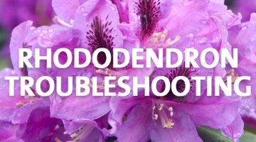 Rhododendron Care and Troubleshooting