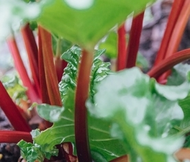 A Guide to Growing Rhubarb