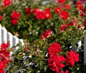 Our Top Rose Care Tips