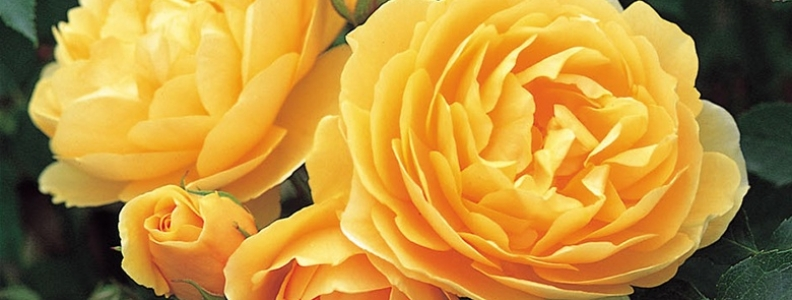 Our Rose Buyer's Top Picks