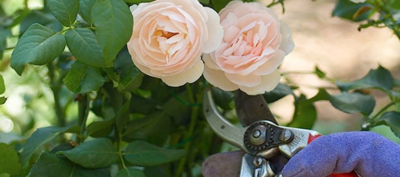 Rose Pruning for Beginners