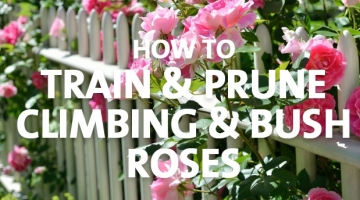 How to Train & Prune Climbing & Bush Roses