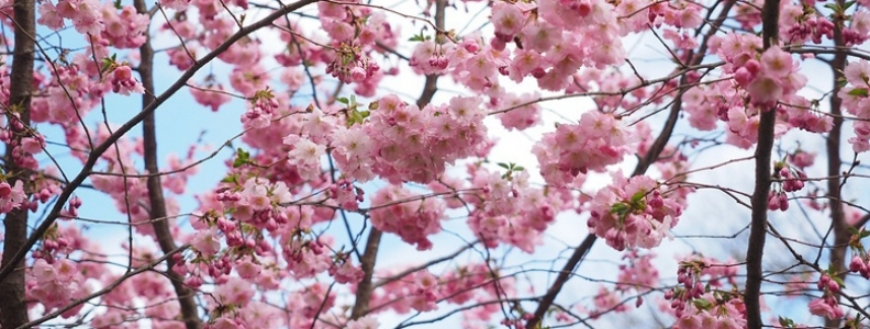 Pictures Of Flowering Cherries