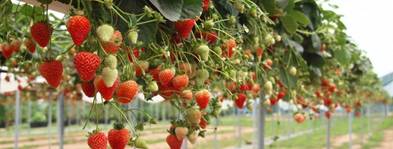 Top 10 Tips for Growing Strawberries - Palmers Garden Centre