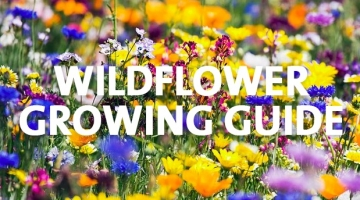How to Grow Wildflowers