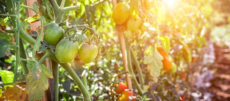 Your Top Tomato Tips