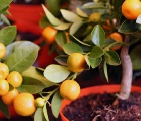 Top 5 Fruit Trees for Pots