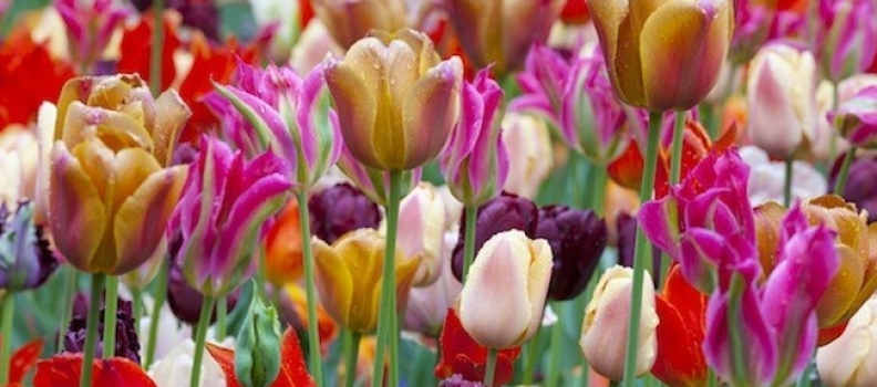 Stagger Plant Your Bulbs for Long Lasting Blooms