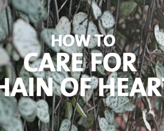 How to Care for Chain of Hearts