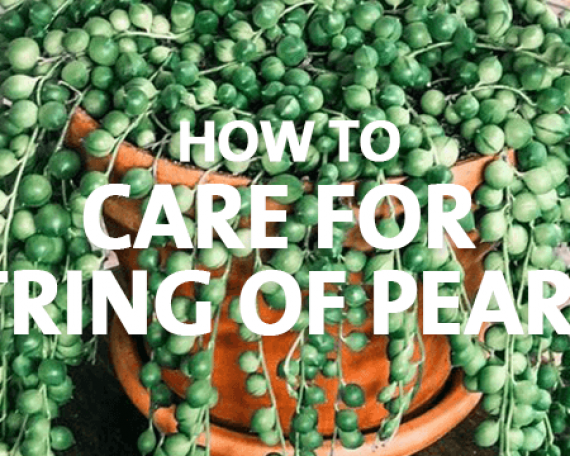 How to Care for String of Pearls